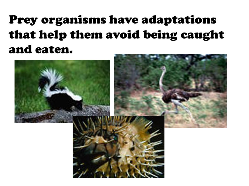 Prey organisms have adaptations that help them avoid being caught and eaten.