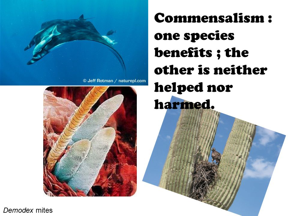 Commensalism : one species benefits ; the other is neither helped nor harmed.