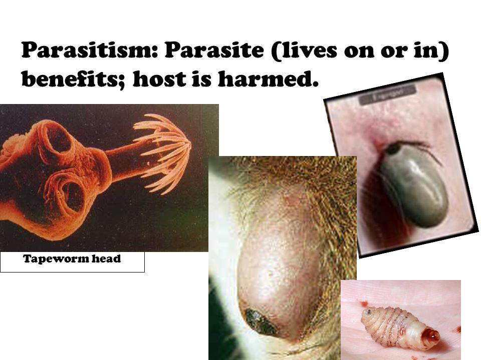 Parasitism: Parasite (lives on or in) benefits; host is harmed.