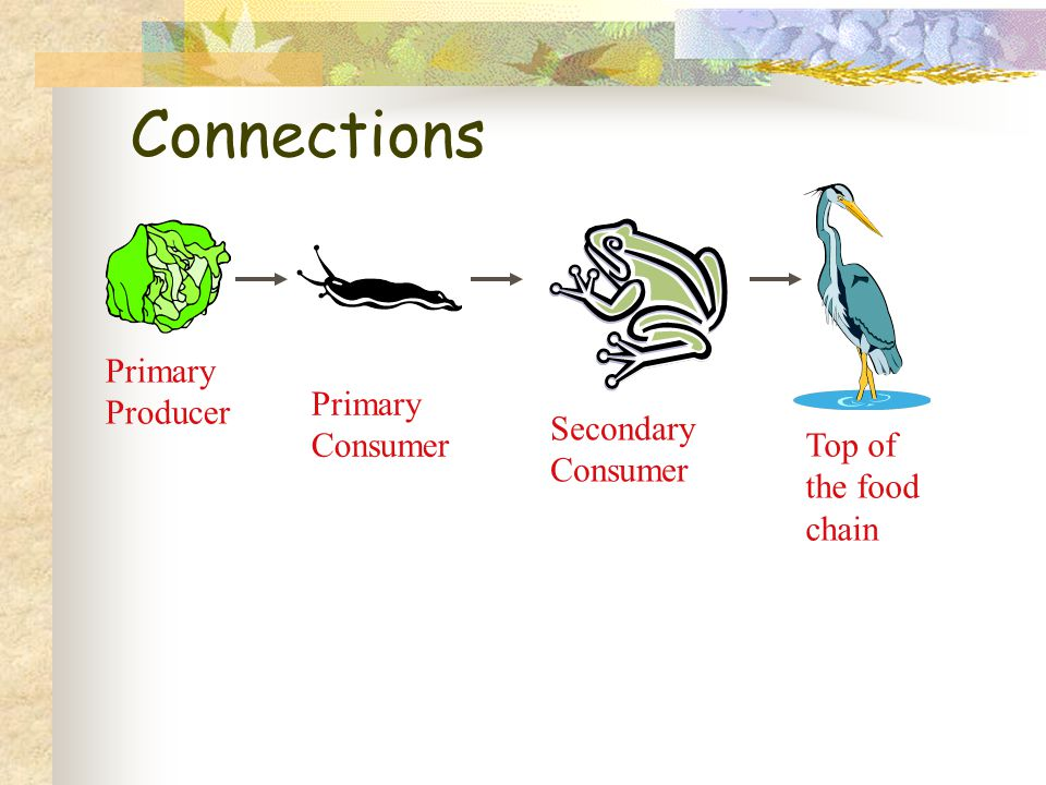 Connections Primary Producer Primary Consumer Secondary Consumer