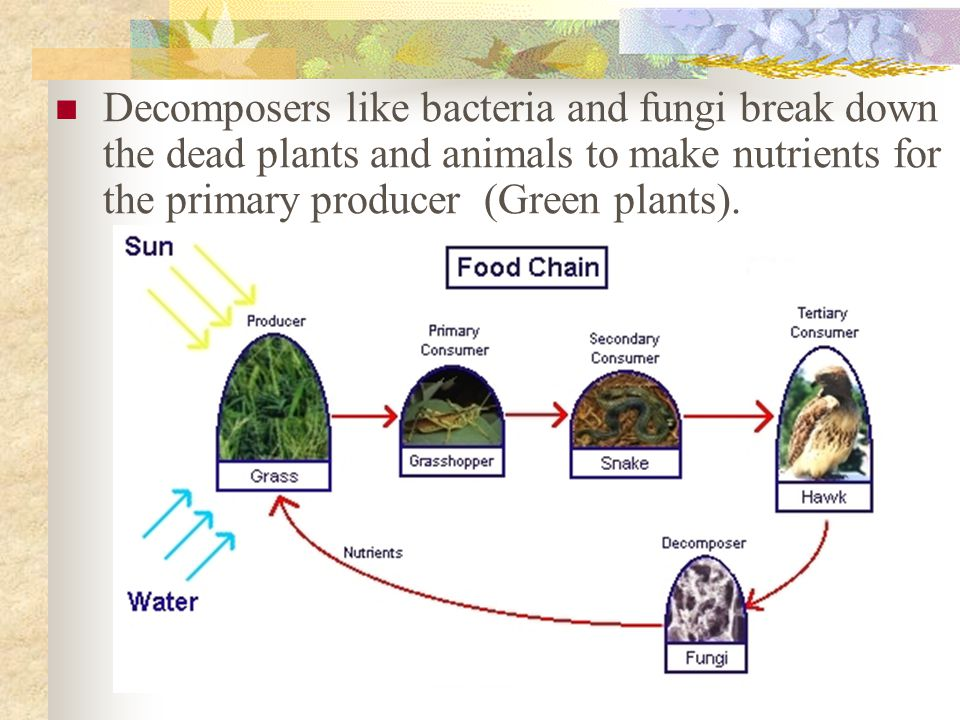 Decomposers like bacteria and fungi break down the dead plants and animals to make nutrients for the primary producer (Green plants).