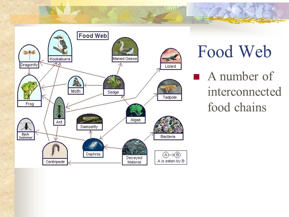 Food Web A number of interconnected food chains