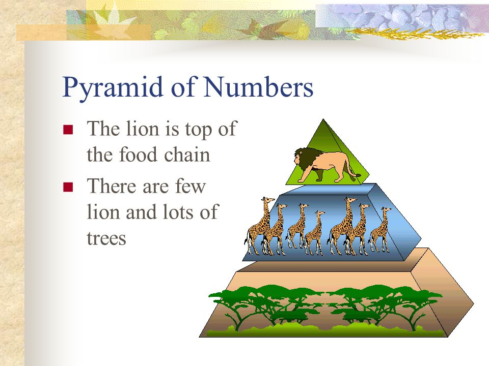 Pyramid of Numbers The lion is top of the food chain