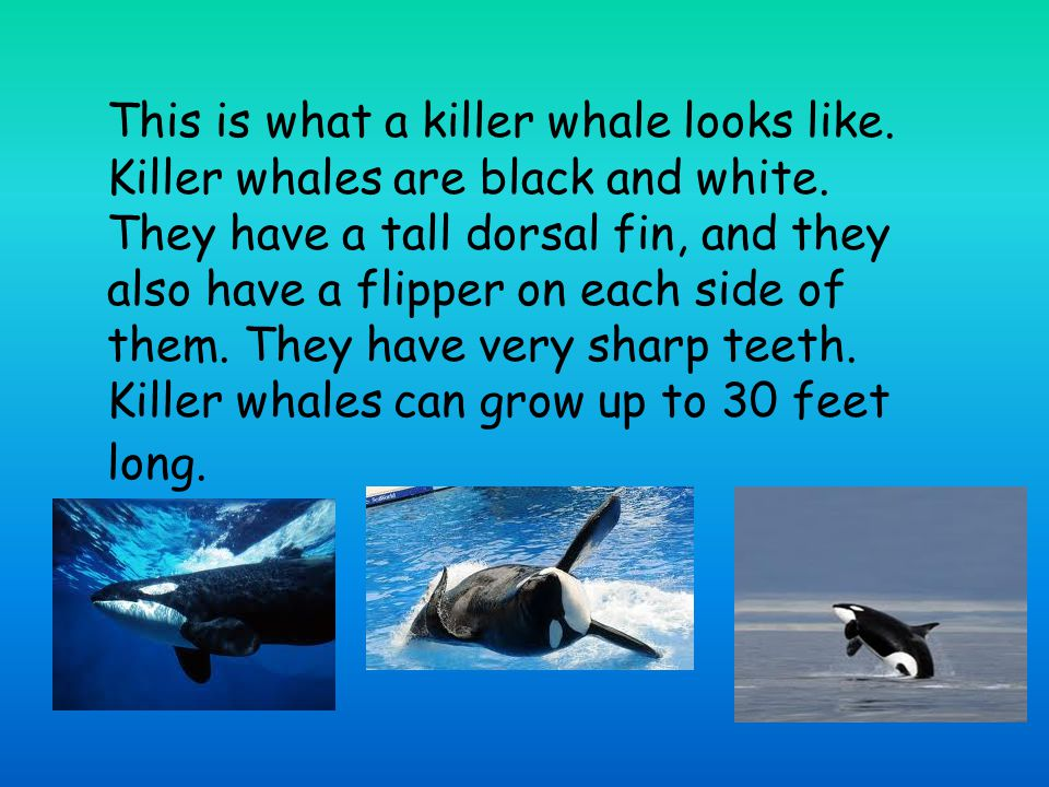This is what a killer whale looks like