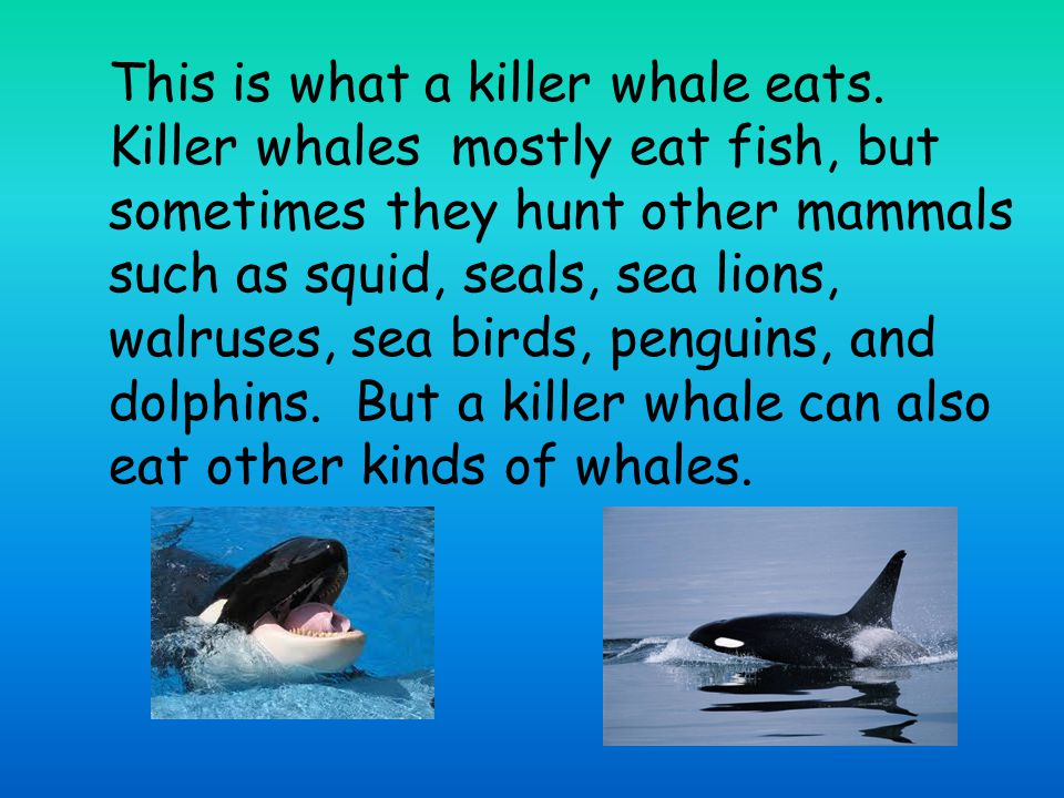 This is what a killer whale eats