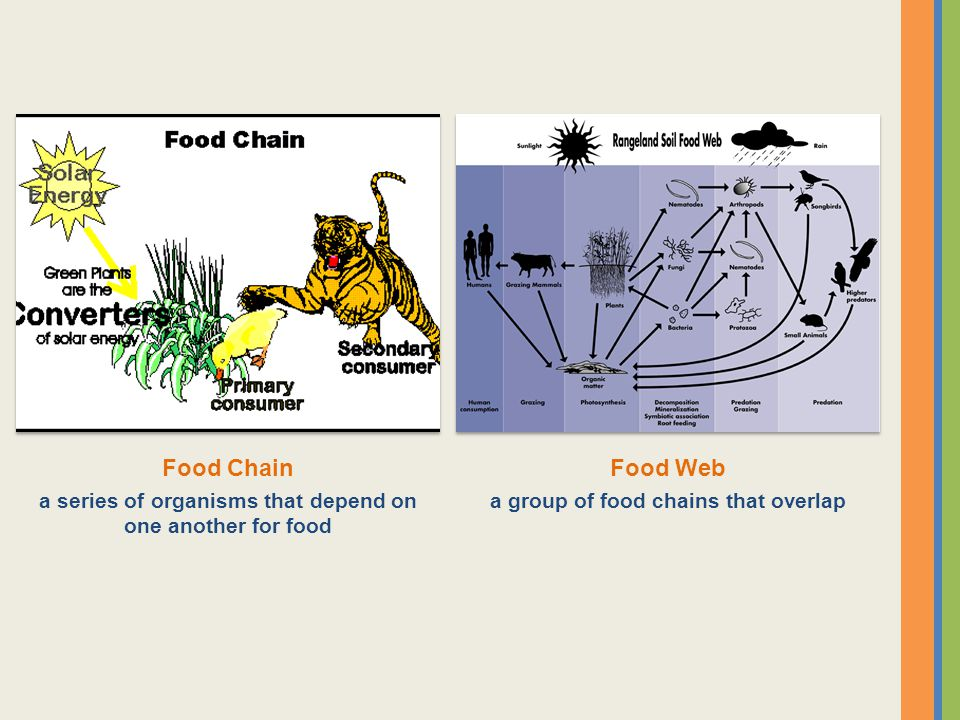 Food Chain a series of organisms that depend on one another for food.