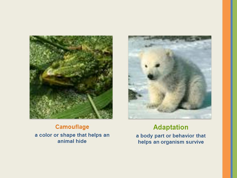 Adaptation Camouflage a color or shape that helps an animal hide
