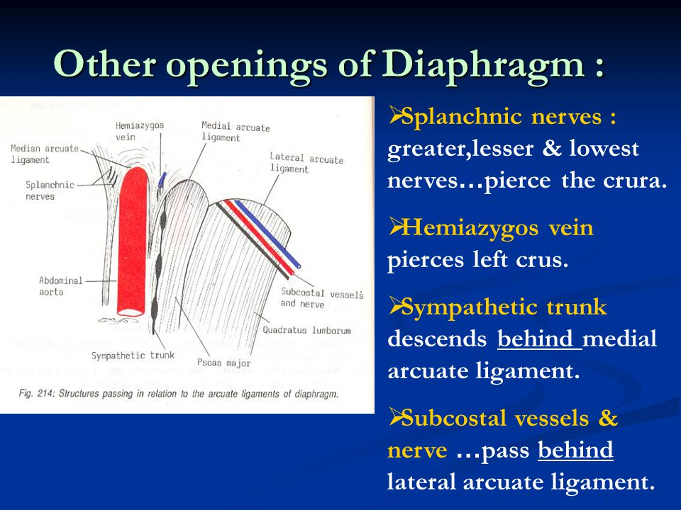 Other openings of Diaphragm :