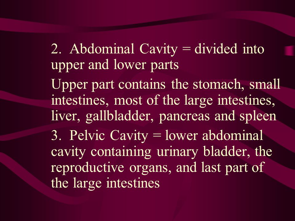 2. Abdominal Cavity = divided into upper and lower parts