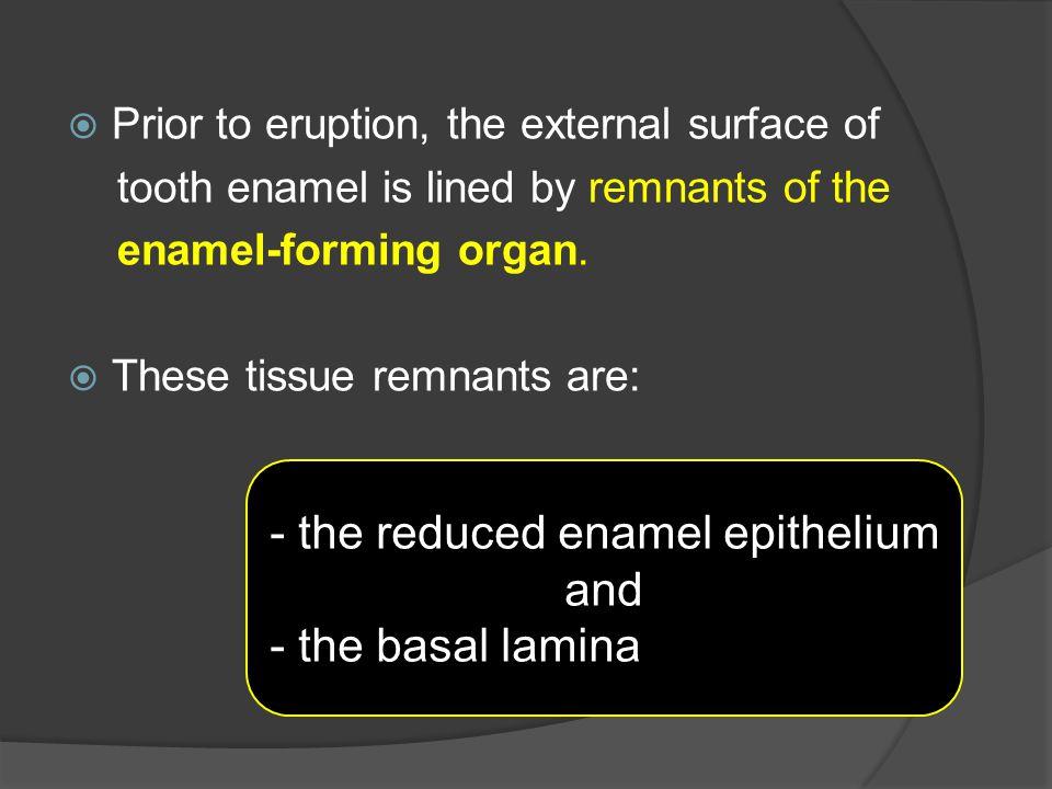 - the reduced enamel epithelium and