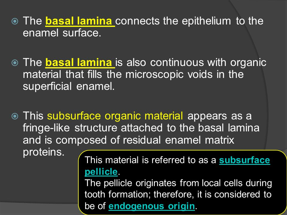 The basal lamina connects the epithelium to the enamel surface.