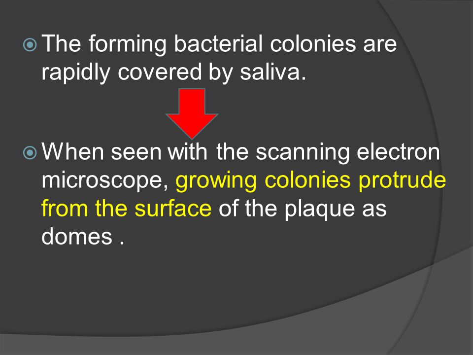 The forming bacterial colonies are rapidly covered by saliva.