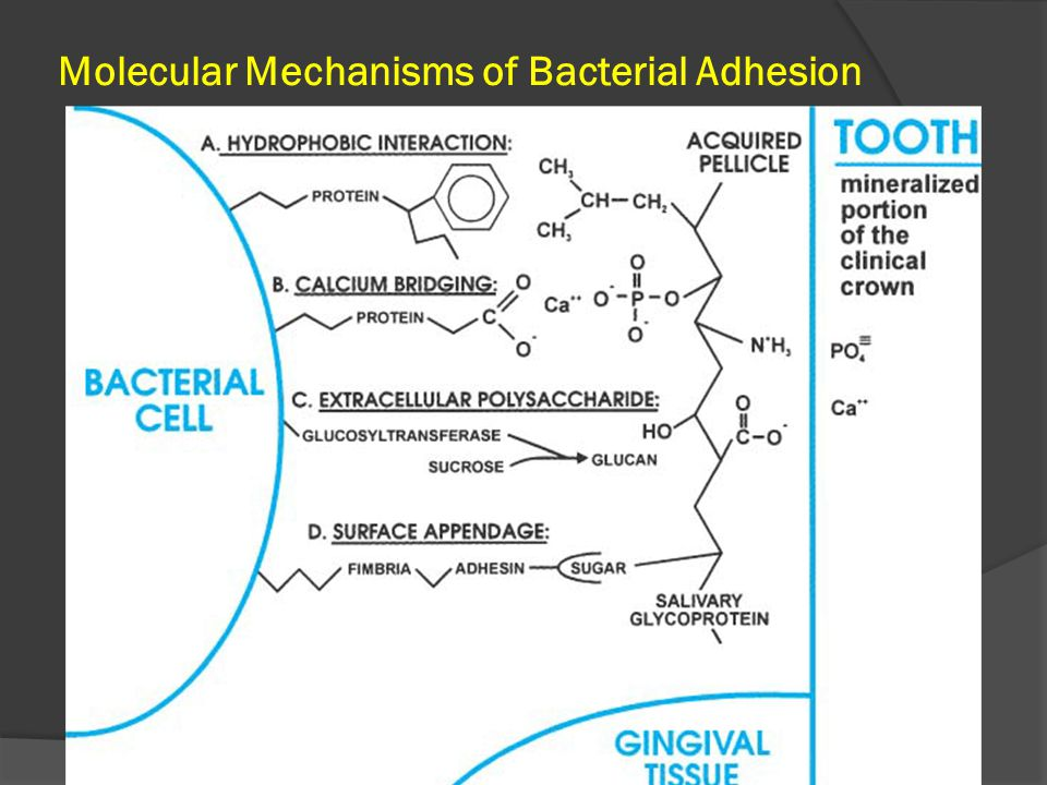 Molecular Mechanisms of Bacterial Adhesion