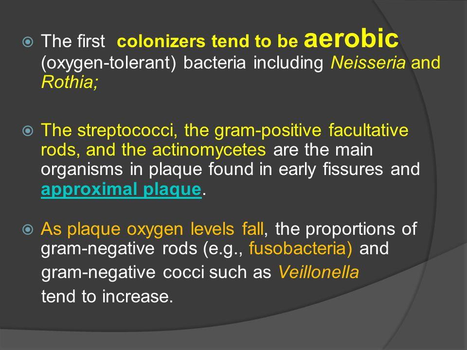 gram-negative cocci such as Veillonella tend to increase.
