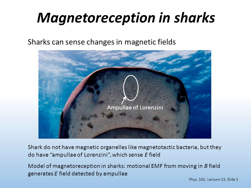 Magnetoreception in sharks