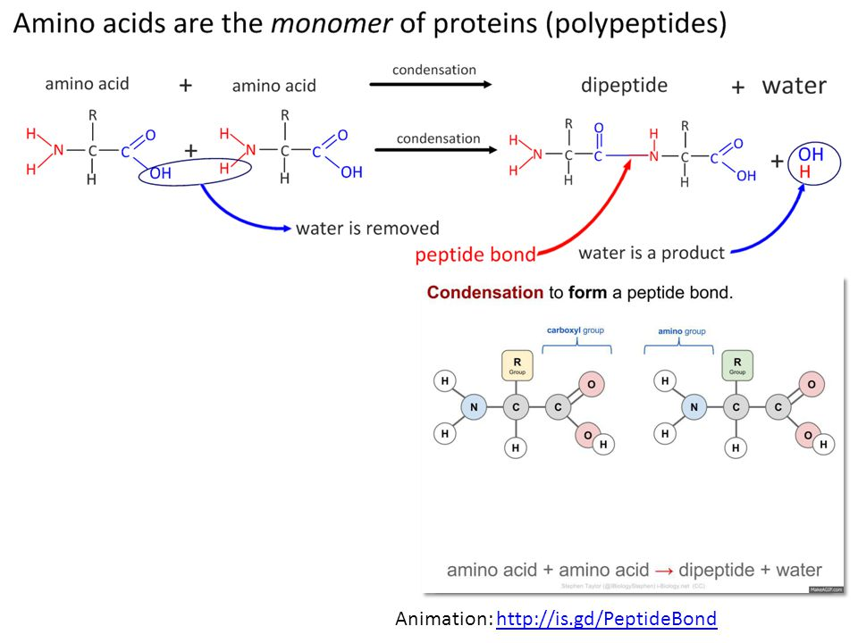 Animation: http://is.gd/PeptideBond