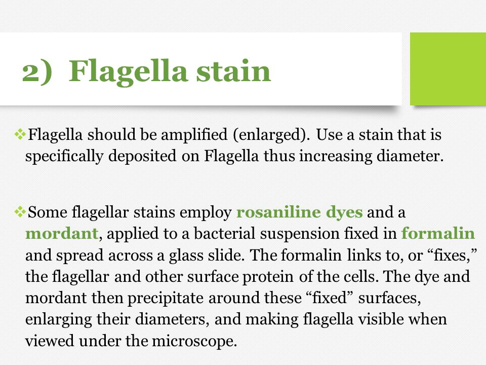 2) Flagella stain Flagella should be amplified (enlarged). Use a stain that is specifically deposited on Flagella thus increasing diameter.