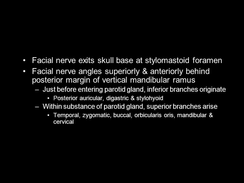 Facial nerve exits skull base at stylomastoid foramen