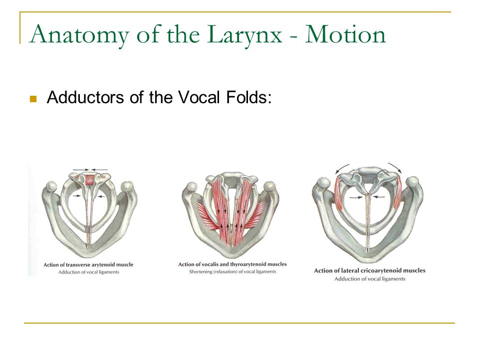 Anatomy of the Larynx - Motion