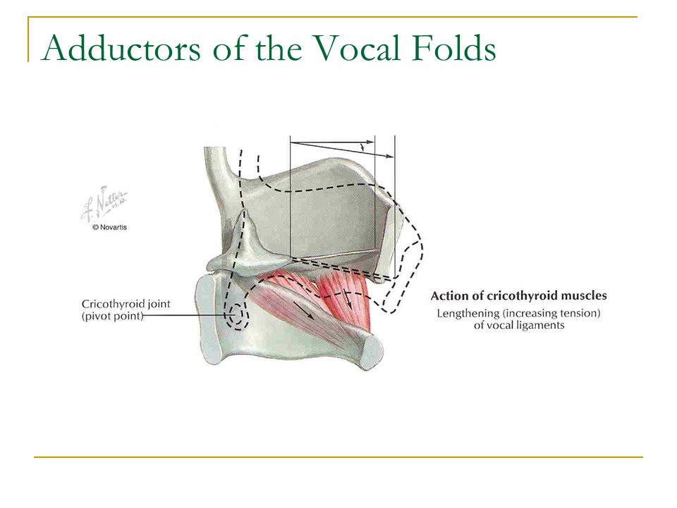 Adductors of the Vocal Folds