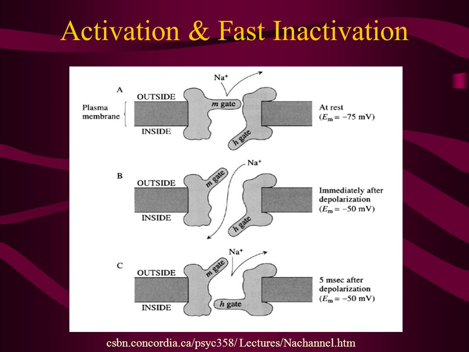 Activation & Fast Inactivation
