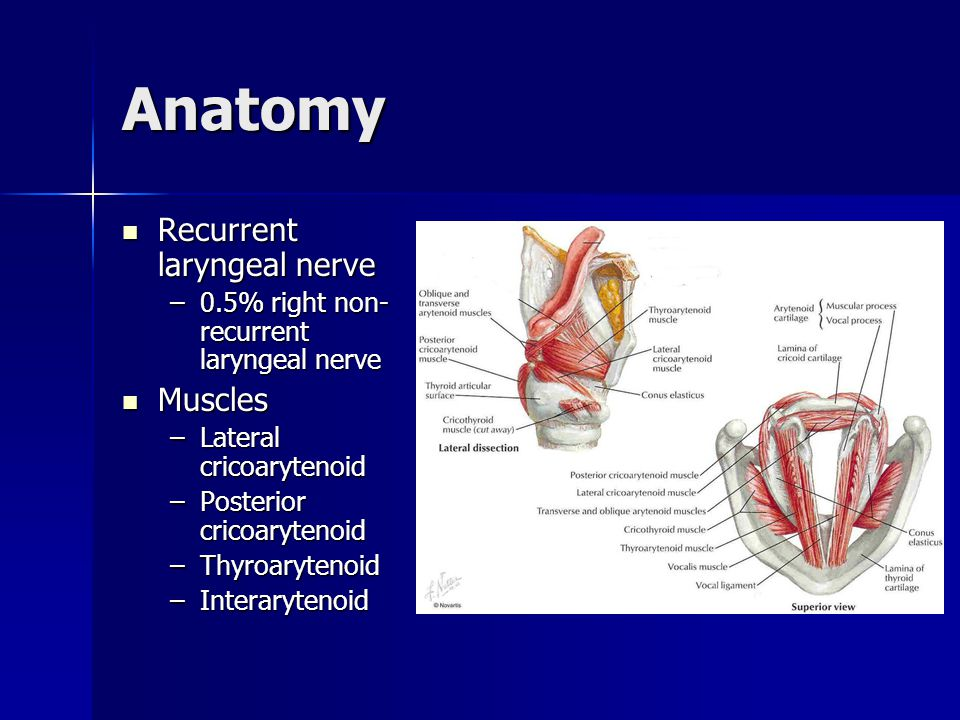 Anatomy Recurrent laryngeal nerve Muscles