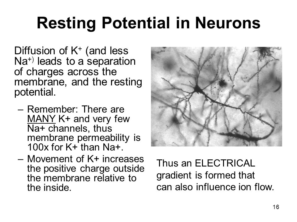 Resting Potential in Neurons
