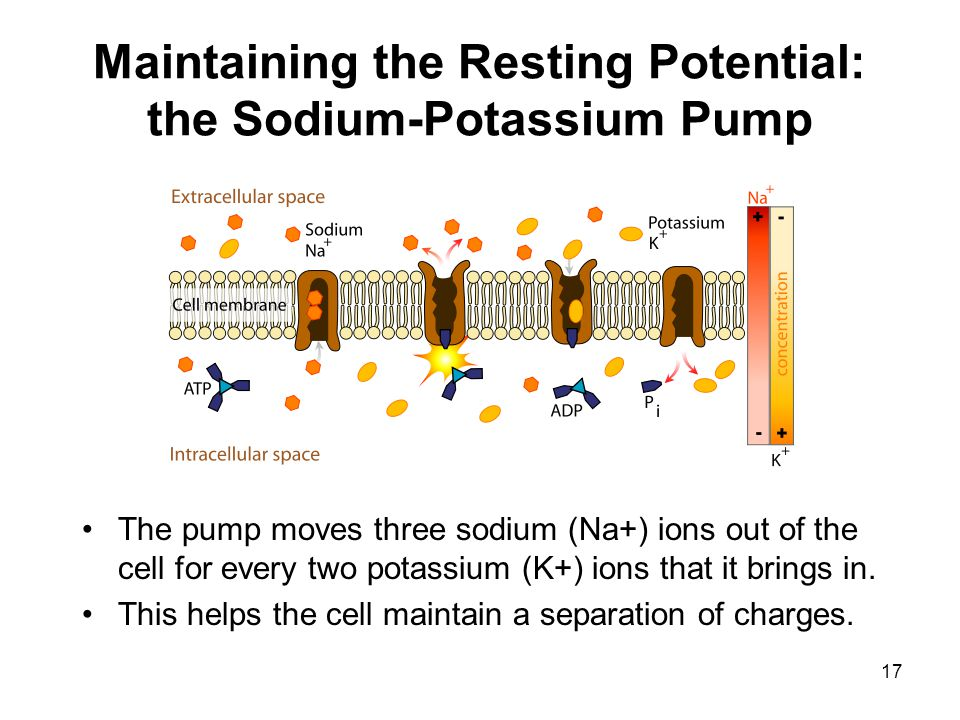 Maintaining the Resting Potential: the Sodium-Potassium Pump