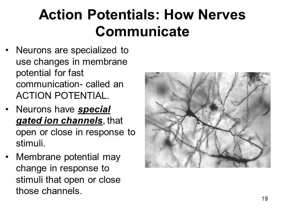 Action Potentials: How Nerves Communicate