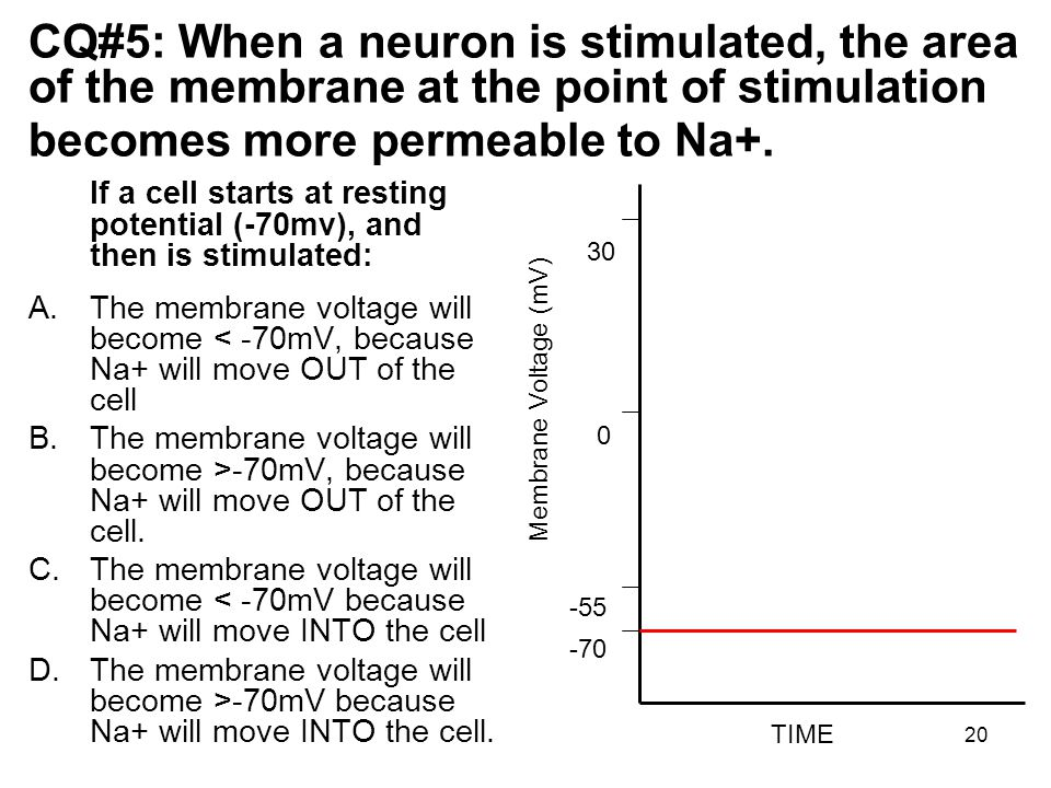 CQ#5: When a neuron is stimulated, the area of the membrane at the point of stimulation becomes more permeable to Na+.