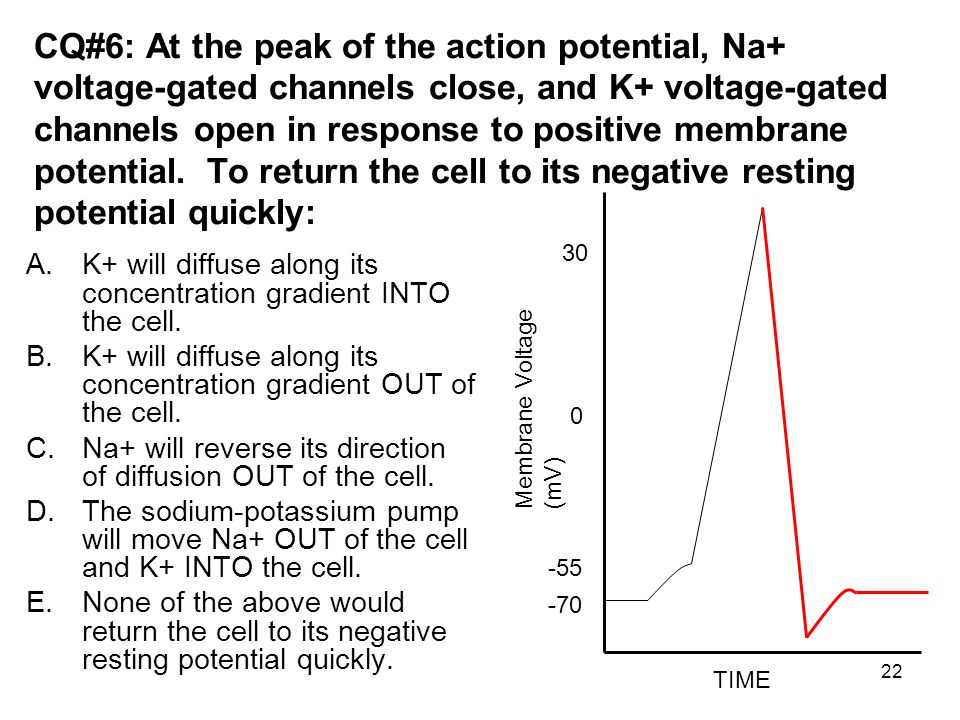 CQ#6: At the peak of the action potential, Na+ voltage-gated channels close, and K+ voltage-gated channels open in response to positive membrane potential. To return the cell to its negative resting potential quickly: