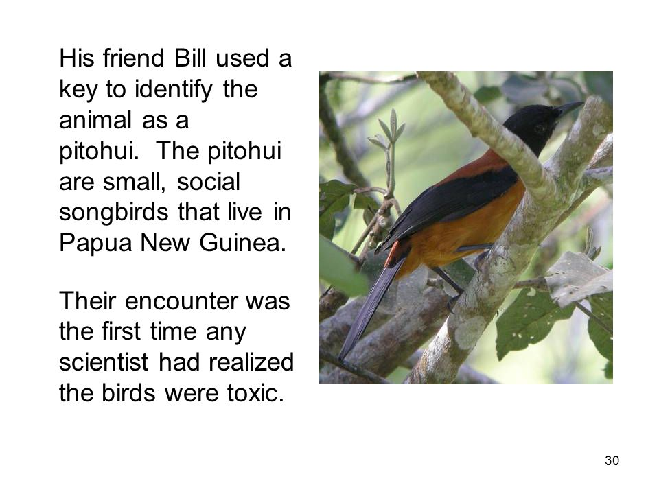 His friend Bill used a key to identify the animal as a pitohui