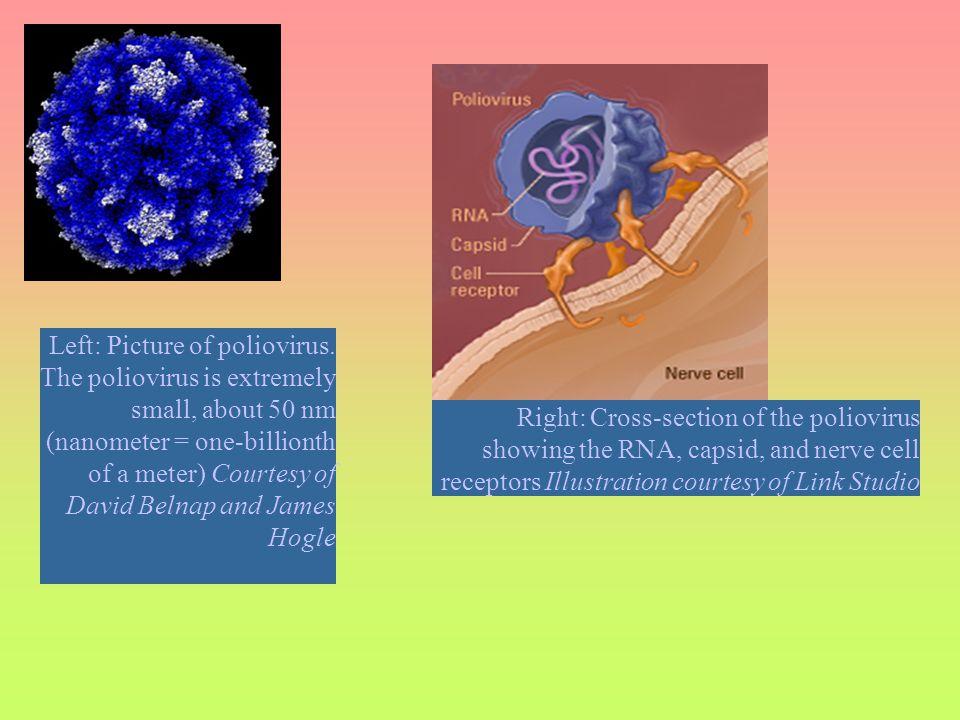Left: Picture of poliovirus