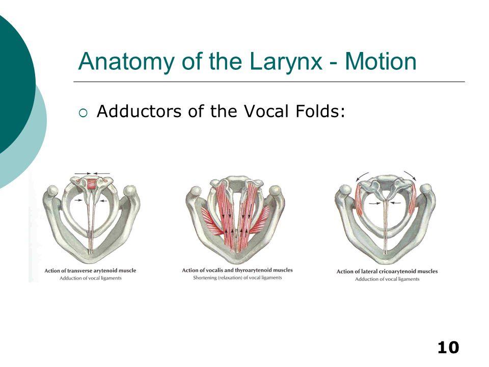 Anatomy of the Larynx - Motion