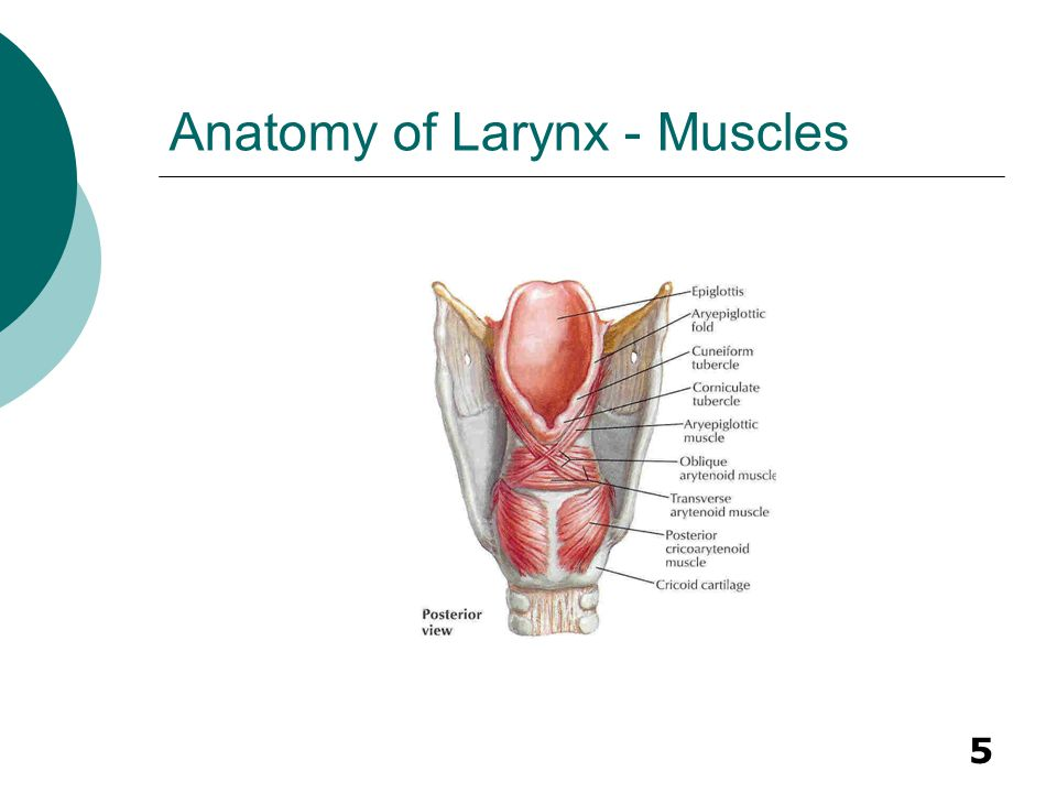 Anatomy of Larynx - Muscles
