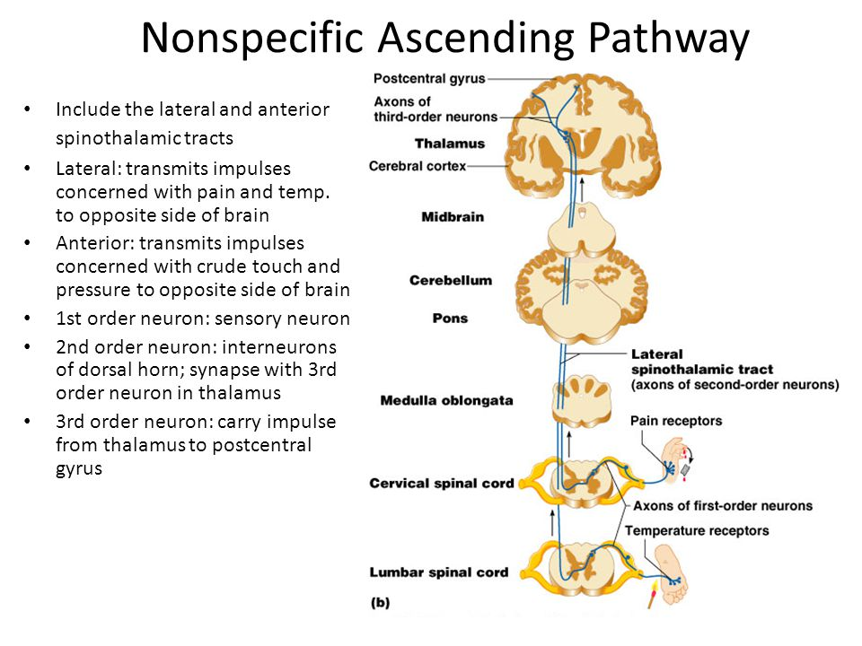 Nonspecific Ascending Pathway