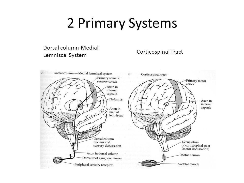 2 Primary Systems Dorsal column-Medial Lemniscal System