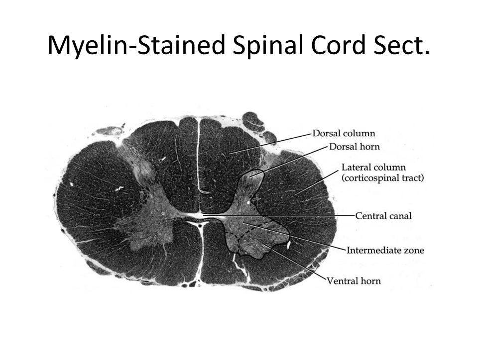 Myelin-Stained Spinal Cord Sect.