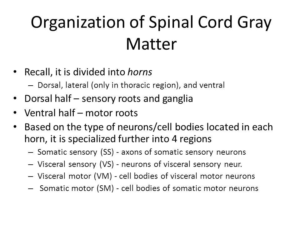 Organization of Spinal Cord Gray Matter