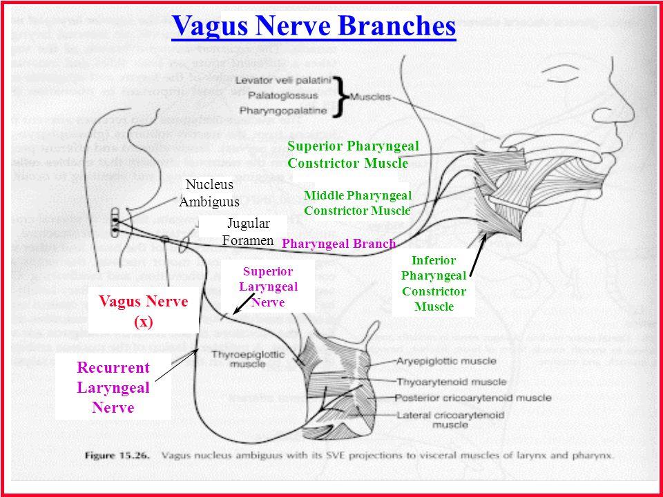 Vagus Nerve Branches Vagus Nerve (x) Recurrent Laryngeal Nerve