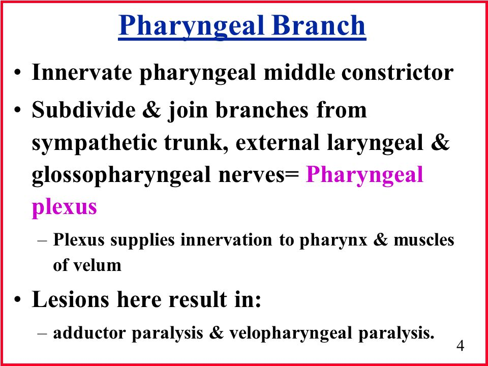Pharyngeal Branch Innervate pharyngeal middle constrictor