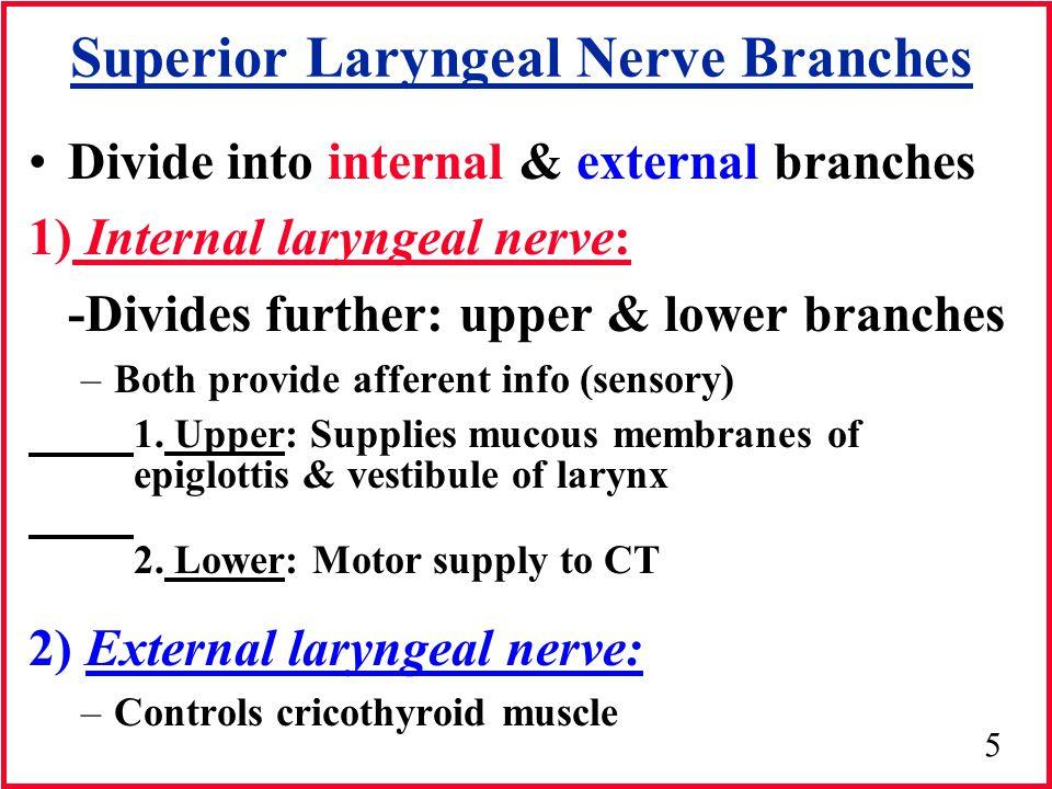Superior Laryngeal Nerve Branches