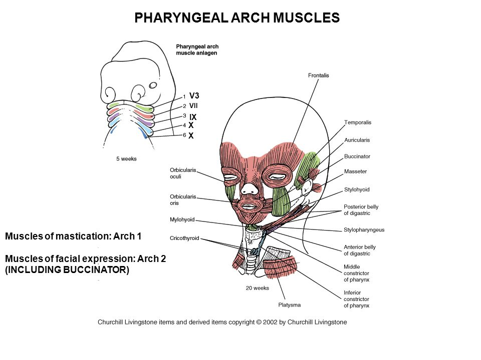 PHARYNGEAL ARCH MUSCLES