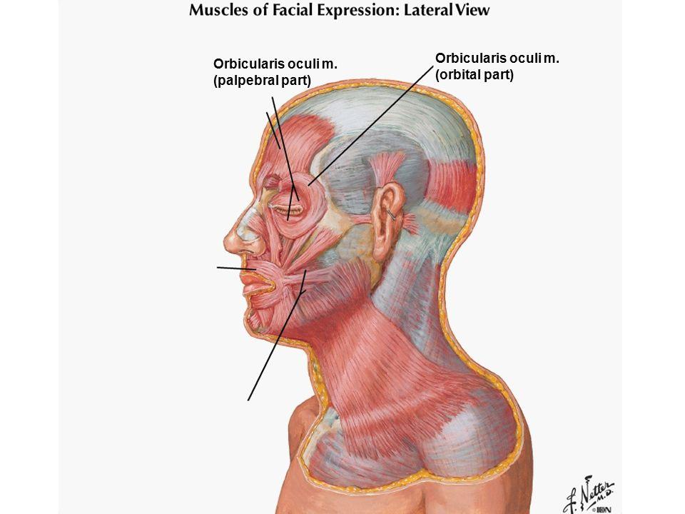 Orbicularis oculi m. (orbital part) Orbicularis oculi m. (palpebral part)