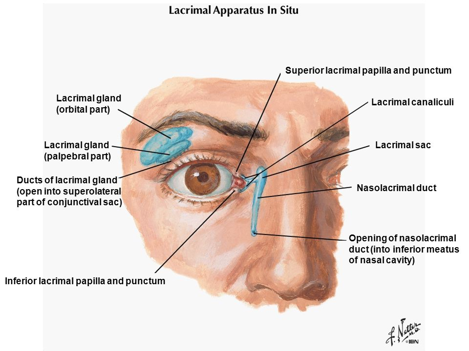 Superior lacrimal papilla and punctum