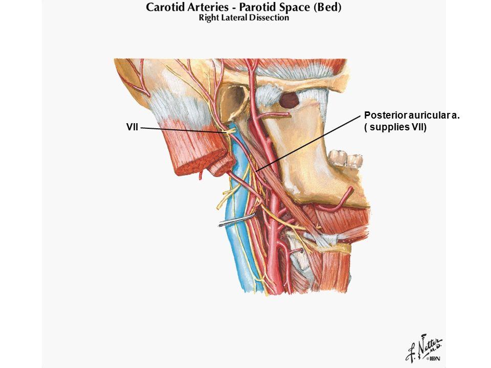 Posterior auricular a. ( supplies VII) VII