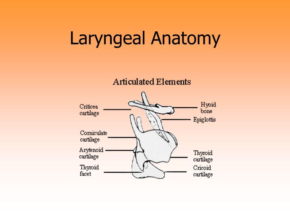 Laryngeal Anatomy