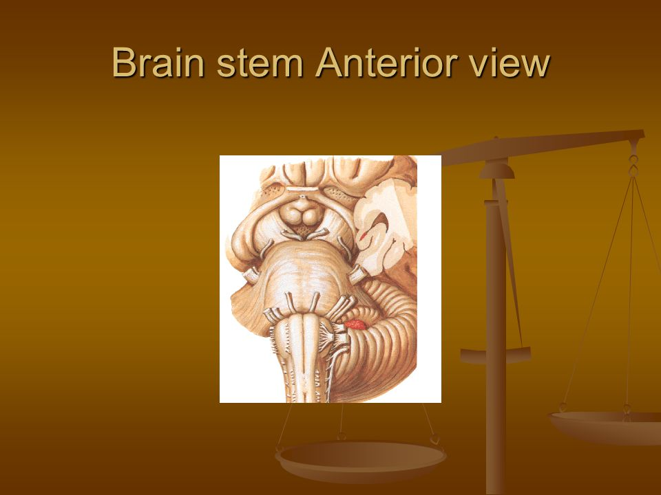 Brain stem Anterior view