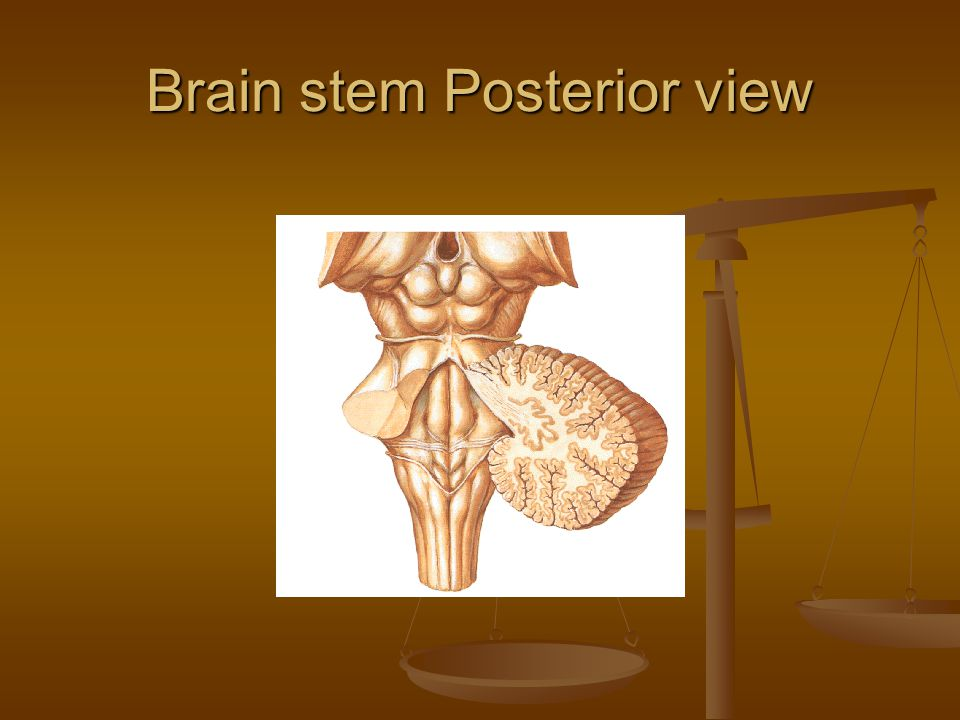 Brain stem Posterior view