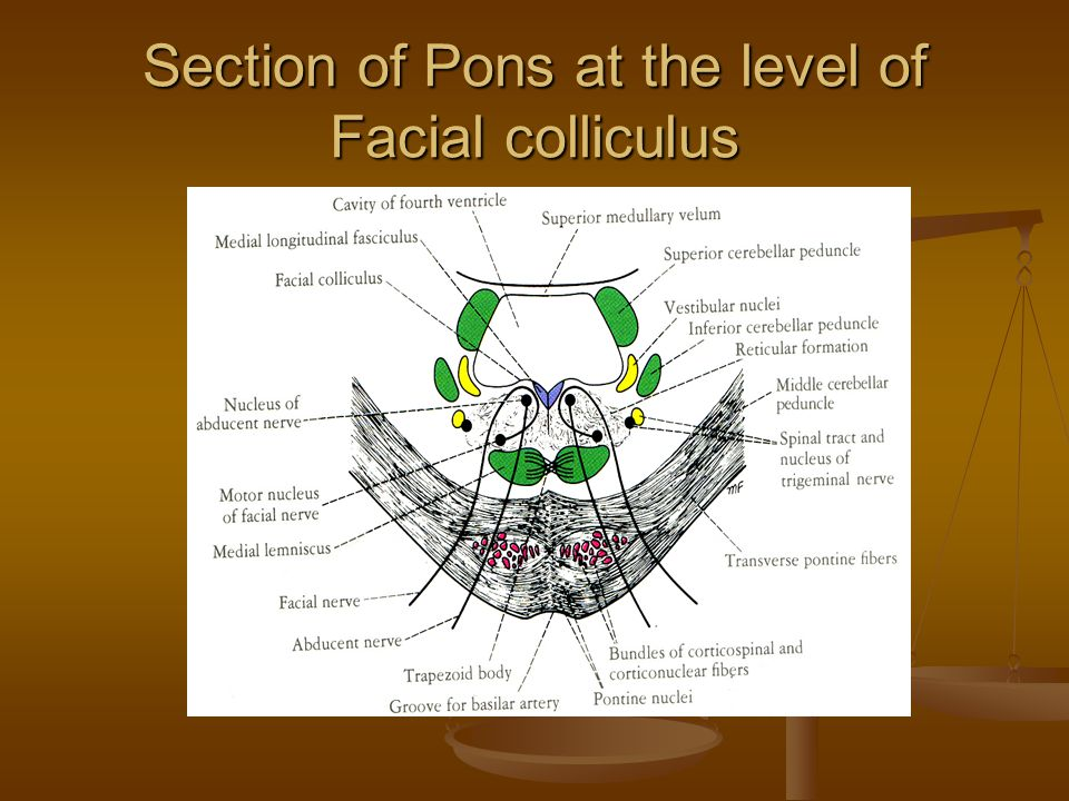 Section of Pons at the level of Facial colliculus